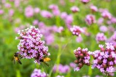 Flor minúscula de la verbena púrpura con la abeja en sol de la mañana Fotos de archivo libres de regalías