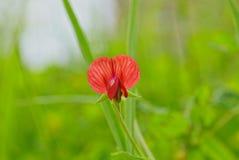 Flor minúscula roja Fotografía de archivo