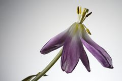 Flor minguante da tulipa em um branco Foto de Stock Royalty Free