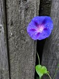 Flor molhada na cerca de madeira imagens de stock royalty free