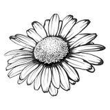 Flor monocromática, blanco y negro hermosa de la margarita aislada Fotos de archivo