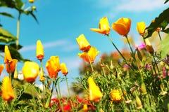 Flor muito bonita da papoila de Califórnia Fotos de Stock