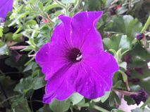 Flor muito roxa Fotos de Stock