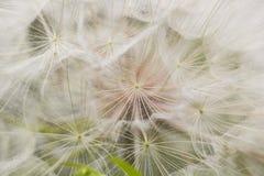Flor mullida blanca grande del diente de león Pariente distante del diente de león - salsifí Imagenes de archivo