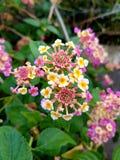 Flor multicolora Fotografía de archivo