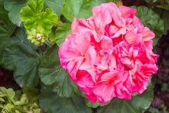 Flor multicolora rosada brillante del geranio Imagen de archivo