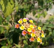 Flor Multicolour Fotografia de Stock Royalty Free