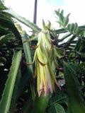 Flor murcho do fruto do dragão foto de stock