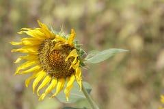 Flor murcho do girassol que pendura a deterioração triste das folhas alaranjado-douradas, flores inoperantes, papel de parede, fu imagens de stock