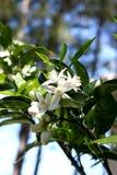 Flor na alaranjado-árvore Fotos de Stock Royalty Free