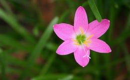 Flor na cor-de-rosa Imagem de Stock Royalty Free