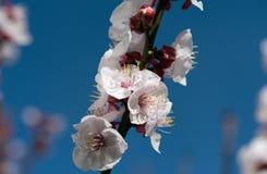 Flor na mola Foto de Stock Royalty Free