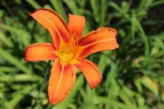 Flor naranja-roja del lirio del nankeen Fotografía de archivo