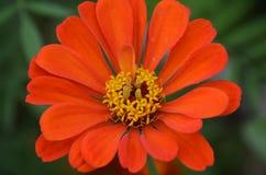 Flor naranja-roja en el primer del prado del verano imagenes de archivo