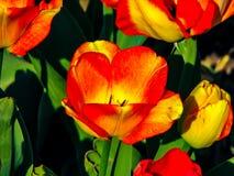 Flor naranja-roja hermosa en el día soleado - detalle en la flor imagenes de archivo