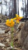 Flor nas cinzas Fotografia de Stock Royalty Free