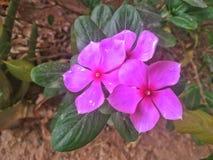 Flor nativa de la ciudad Fotos de archivo