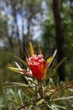 Austrália: flor nativa do diabo de montanha Imagens de Stock