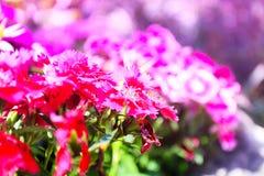 Flor natural bonita da cor no jardim Imagem de Stock