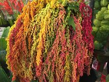 Flor natural da beleza em Banguecoque Fotos de Stock Royalty Free