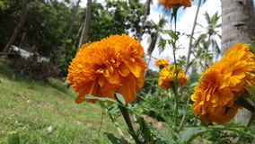 Flor natural de Daspethiya de Sri Lanka fotos de archivo libres de regalías