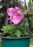 Flor natural de Sri Lanka imagen de archivo