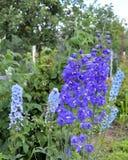 Flor, natureza, flores, roxo, jardim, mola, planta, verde, azul, flor, lupine, verão, flor, flora, campo, alfazema, folha, foto de stock royalty free