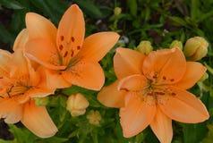 Flor, natureza, laranja, lírio, jardim, planta, amarelo, verde, flores, mola, beleza, flora, flor, flor, vermelho, macro, floral, imagem de stock royalty free