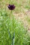 Flor negra del tulipán fotografía de archivo