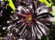 Flor negra rojo oscuro del kop Fotos de archivo