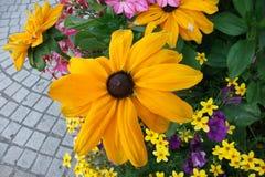 flor Negro-observada de Susan (hirta del Rudbeckia) imágenes de archivo libres de regalías