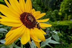 Flor negro-observada grande de susan con un negro y un FE amarillo del abejorro imágenes de archivo libres de regalías