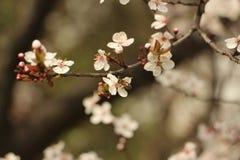 Flor nevado da ameixa foto de stock