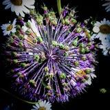 Flor no alvorecer Imagens de Stock
