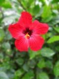 Flor no arbusto da acácia Imagens de Stock