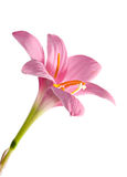 Flor no branco Foto de Stock