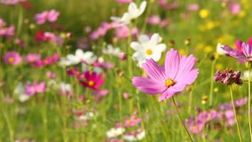 Flor no campo, chiangmai Tailândia do cosmos filme