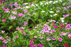 Flor no chiangmai Tailândia Imagens de Stock