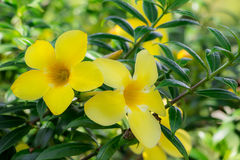 Flor no chiangmai Tailândia Foto de Stock Royalty Free