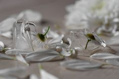 Flor no gelo Foto de Stock Royalty Free