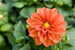Flor no jardim Fotografia de Stock Royalty Free