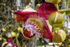 Flor no jardim, flor de Salana fotografia de stock