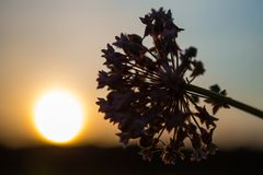 Flor no por do sol Fotos de Stock Royalty Free