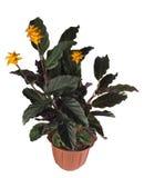 Flor no potenciômetro Imagens de Stock Royalty Free