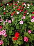 flor no tempo de mola Foto de Stock Royalty Free