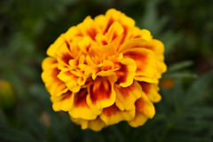 Flor nos Parklands Imagem de Stock