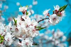 A flor nova da árvore de cereja da mola floresce o close-up em b colorido Foto de Stock