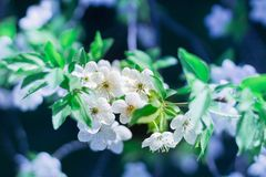 A flor nova da árvore de cereja da mola floresce o close-up no backgr do borrão Imagens de Stock Royalty Free