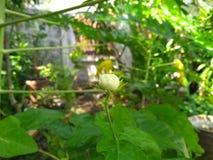 A flor nova do jasmim sob a máscara da árvore de y fotos de stock royalty free