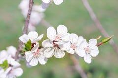 A flor nova do ramo da cereja da mola floresce o close-up em colorido Fotos de Stock Royalty Free